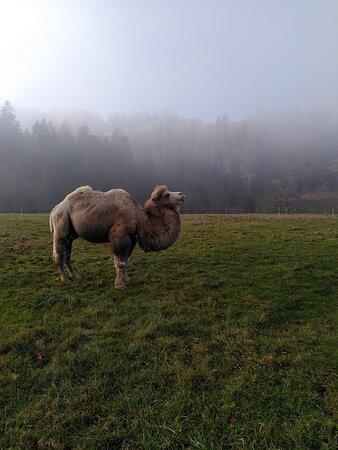 Huttwil, Schweiz: Weisses Kamel