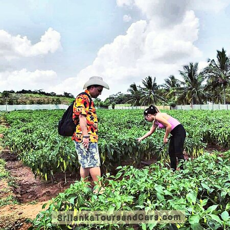Vegetable farming is the growing  @Happy couple  @Visit Sri Lanka  wonderful holiday in Sri Lanka with the best  tour plan  to explore this exotic island and get the experience of