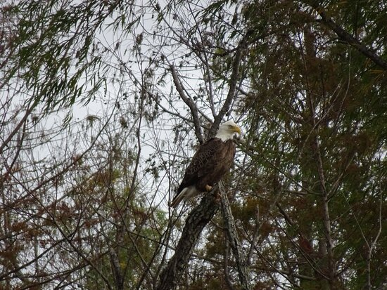 Patterson, LA: Winter time = Eagle time of the Year