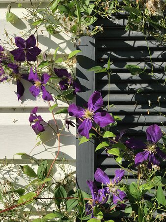 """Luray - Page County, เวอร์จิเนีย: I nurtured this """"Spring-blooming"""" clematis for 3 years without a glimpse of color, only to have my patience and perseverance rewarded with these beautiful blooms 3 weeks before our first frost at my home in Luray, which occurred the third week of October... There IS a God!"""