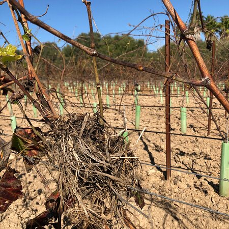 Little house in a nice area 🏡🦜🍇🙋♀️🙋♂️ Your wine 🍷   Your piece of Mallorca 🏝 g r a p e v i n e  s p o n s o r s h i p DE.WeinFeldSineu.com EN.WeinFeldSineu.com weinfeld.sineu@gmail.com P҉R҉E҉-O҉R҉D҉E҉R҉ & P҉A҉Y҉ L҉A҉T҉E҉R҉ DE.WeinFeldSineu.com/pre-order EN.WeinFeldSineu.com/pre-order You could find us on INSTAGRAM: instagram.com/Weinfeld.Sineu ☀️ #weinfeldsineu #mallorca #redwine #whitewine #rebenpatenschaft #grapevinesponsorship #weinemallorca #rotwein #weißwein #weinstock #ökologisch #sineu #weinberg