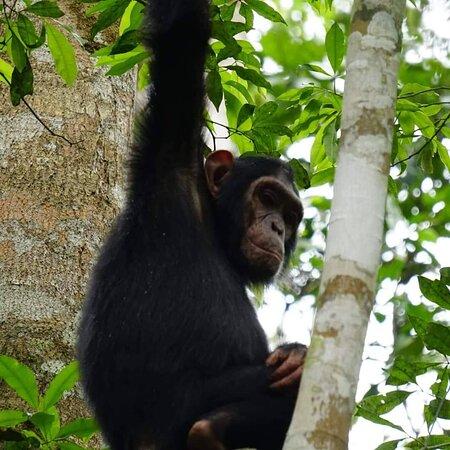 Gorilla in Mgahinga Gorilla National Park & Chimpanzee in Kibale National Park.  01/12/2020 - 31/03/2021 we have discounted Uganda trips.