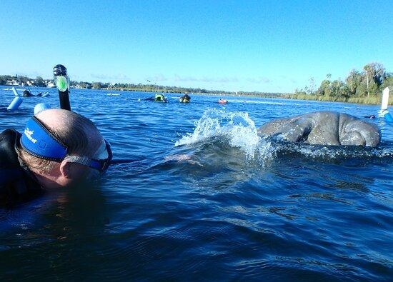 Crystal River Manatee Swim in Kings Bay National Wildlife Refuge: Great manatee shot!