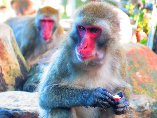 City Park is only 150 metres from the Cornwall and offers the odd attraction of a community of Japanese macaques, sometimes called snow monkeys. Great trees in this park.