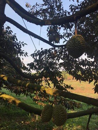 Binh Phuoc Province, Việt Nam: Trái sầu riêng trên cây.