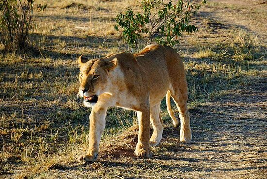 Reserva Natural Masái Mara, Kenia: African lioness walking right next to our jeep