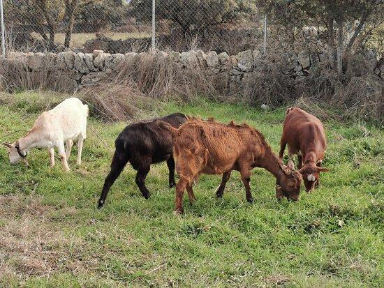 Galapagar, España: Rebaño de cabras.