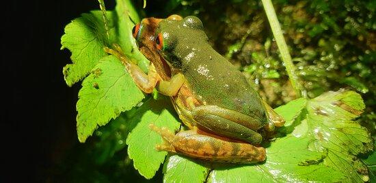 Rufous-eyed stream frog
