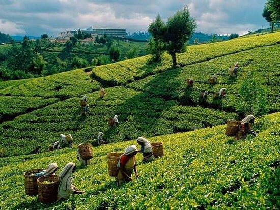 Kandy, Sri Lanka: Nice tea plantation in Nuwaraeliya (up country ) Sri Lanka..The Sri Lanka Travel Planner