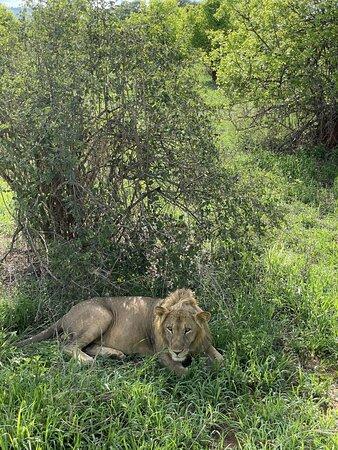 Tarangire National Park, Tanzania: лев подросток