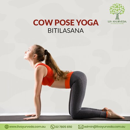 Every pose in yoga serves to relax specific areas of our body and Cow pose mainly helps in relaxing the spine. As we bend inward in this pose, the tension in the spinal area is tackled. This pose is ideal to do after a long drive or after anything that involves sitting for a long time. To know more about this and other yoga poses and their benefits, ring us on 02 7805 6110 visit our website: http://livayurveda.com.au/