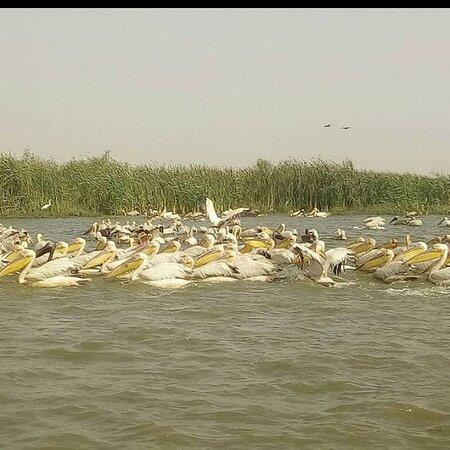 Saint-Louis, Senegal: Le parc national des oiseaux du djoudj avec abdoulaye guide tour et aussi pour voir comment les pélicans  fon la pêche sincronisait