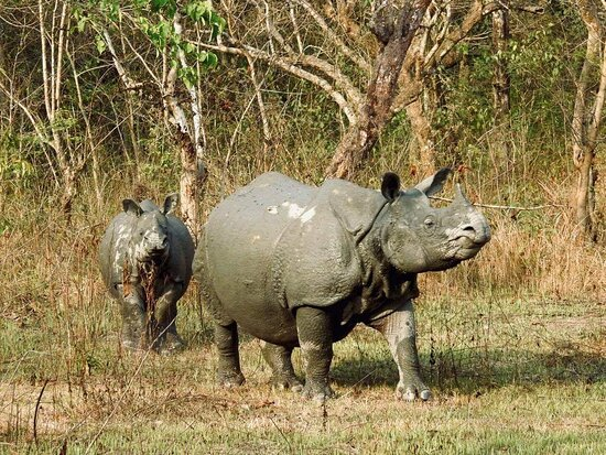 Greater One horn Rhino with her calf after mud bath