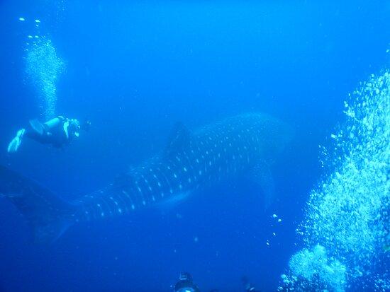 Santa Cruz, Ecuador: Swimming with the Whale Shark.