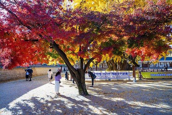 성균관 내 천연기념물 은행나무 옆의 단풍나무도 단풍이 화려하다.
