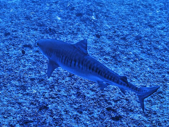 Fun Dive: Tiger Shark!