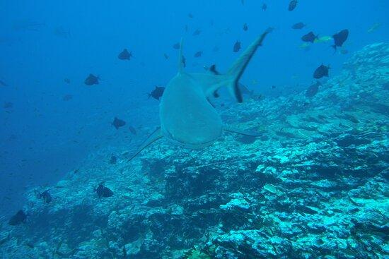 Requin Gris de Polynésie