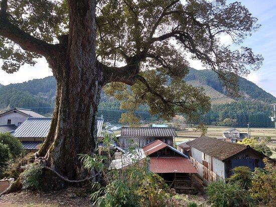 Yamazo's Quercus Gilva Tree