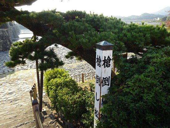 岩国城に向かって錦帯橋を渡り切った左手の河原にある「やりこかしまつ」と言う奇妙な名前の松の木。