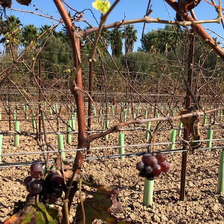 Our Christmas tree 🎄❤️😊🙋♀️🙋♂️ Your wine 🍷 | Your piece of Mallorca 🏝 g r a p e v i n e  s p o n s o r s h i p DE.WeinFeldSineu.com EN.WeinFeldSineu.com weinfeld.sineu@gmail.com P҉R҉E҉-O҉R҉D҉E҉R҉ & P҉A҉Y҉ L҉A҉T҉E҉R҉ DE.WeinFeldSineu.com/pre-order EN.WeinFeldSineu.com/pre-order You could find us on INSTAGRAM: instagram.com/Weinfeld.Sineu ☀️ #weinfeldsineu #mallorca #redwine #whitewine #wine #rebenpatenschaft #grapevinesponsorship #weinemallorca #rotwein #weißwein #weinstock #ökologisch #sineu #weinberg