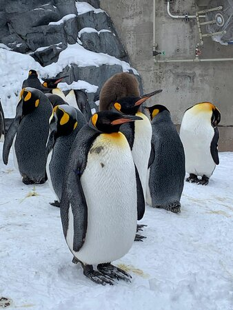 penguin parade is ready to show off