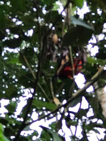 Looking for the gallito de roca(Bird)