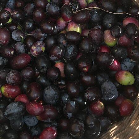 Maracalagonis, Ιταλία: Sardegna ultime olive raccolte per cucinarle con olio e aceto tipico scabecciu cagliaritano