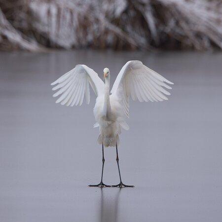 "La grande aigrette, ""art on ice"""