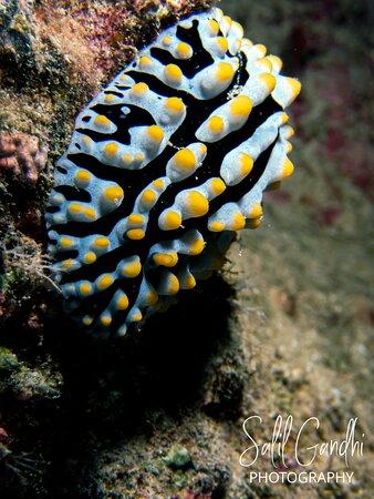 Fried Egg nudibranch
