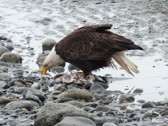 Clam Gulch, อลาสกา: Hungry eagle