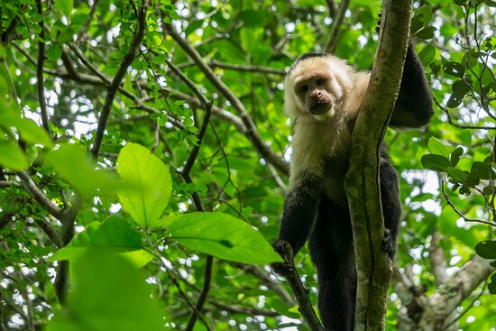 One of three species of monkeys found in the reserve.
