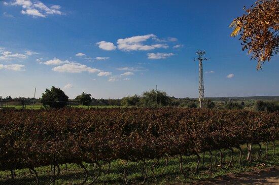 עגור, ישראל: The Vineyard