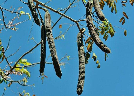 Iquitos Amazon Region, Peru: Cassia-Grandis
