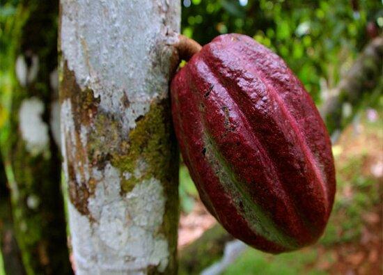 Iquitos Amazon Region, Peru: Cocoa Plant