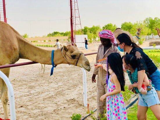 Feeding camels.