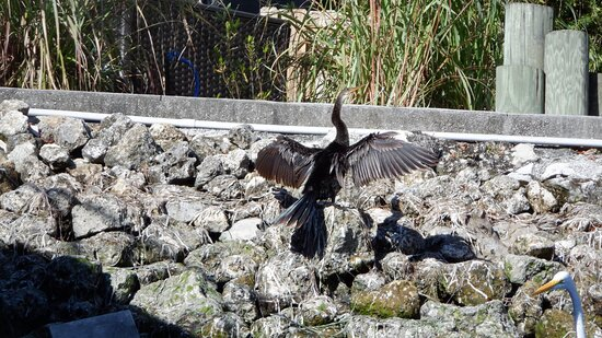Manatee Snorkeling Tour - VIP: An anhinga spreading its wings to dry in the sun (I took this one)
