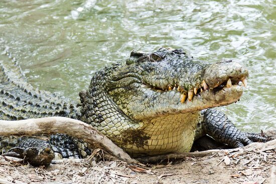 Daintree Crocodile Tours
