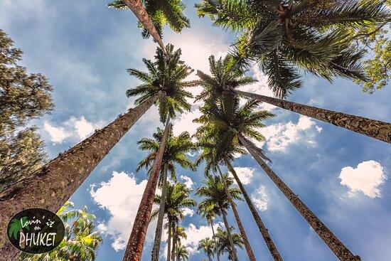 Jardim Botanico: The giant palms