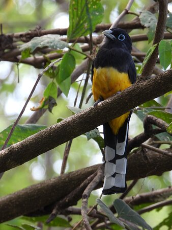 Black-headed Trogon:  It is mostly found in the Pacific northwest and is also pretty easy to see because of the open nature of its habitat (dry forest edge).