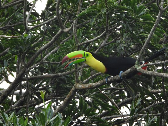 The keel-billed toucan, also known as sulfur-breasted toucan or rainbow-billed toucan, is a colorful Latin American member of the toucan family. It is the national bird of Belize.