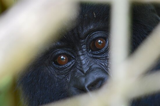 first observation from hiding bush, a baby gorilla