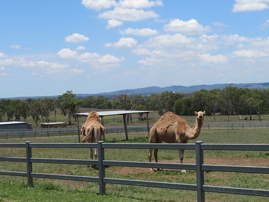 Camel Farm Experience - Tour & Taste: Penny and Vernon - Mascots for the Australian Army's 26 Transport Squadron