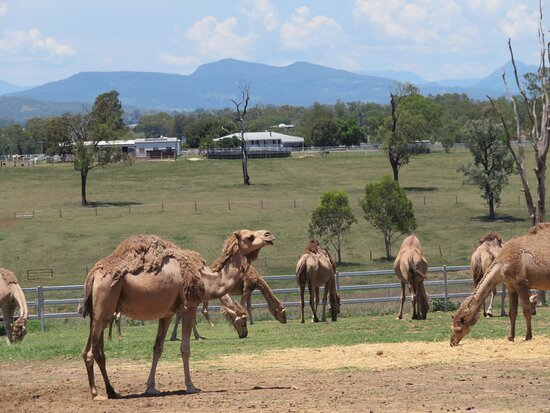 Camel Farm Experience - Tour & Taste: Camels in one of the paddocks.