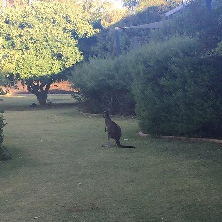 Preston Beach, Australia: Our beautiful kangaroos come to visit in the morning