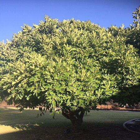 Preston Beach, Australia: The magnificent fig tree on the property