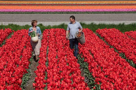 Tour of the Tulip Fields in a Typical Ducth Tulip Farm