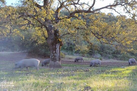 Visite écologique du cochon ibérique