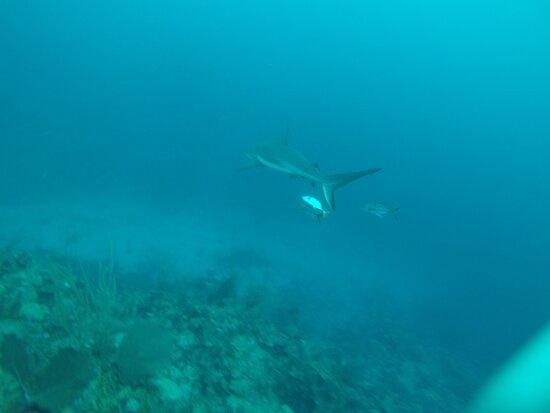 Reef shark at Tackle Box Canyons