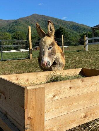Norman the mini donkey