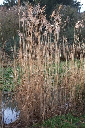 Reeds in the sun